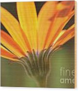 Orange Daisy Wood Print