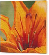 Orange Daylily Closeup Wood Print