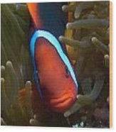 Orange Face Anemonefish Wood Print