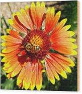 Orange Fiery Gaillardia Flower And Bee Macro Wood Print