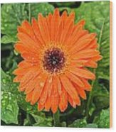 Orange Gerber Daisy 2 Wood Print
