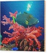 Orange-lined Triggerfish Balistapus Wood Print
