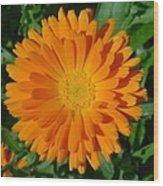 Orange Marigold Close Up With Garden Background Wood Print