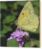 Orange Sulphur Wood Print