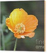 Orange Welsh Poppy Wood Print