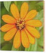 Orange Zenia Wood Print