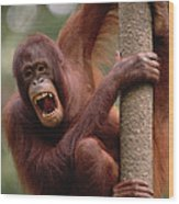 Orangutan Hanging On Tree Wood Print
