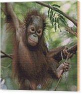 Orangutan Infant Hanging Borneo Wood Print by Konrad Wothe