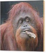 Orangutan Portrait Wood Print