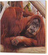 Orangutans Grooming Wood Print