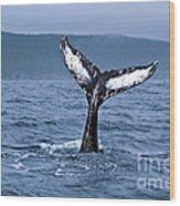 Orca Bitemarks On Humpback Tail Wood Print