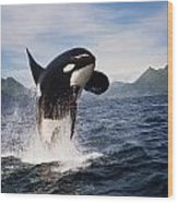 Orca Breach Wood Print