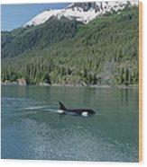 Orca Female Inside Passage Alaska Wood Print