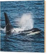 Orca Whale On The Move Wood Print by Puget  Exposure