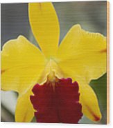 Orchid Beauty - Cattleya - Pot Little Toshie Mini Flares Mericlone Hawaii Wood Print by Sharon Mau