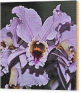 Orchid Cattleya Percivaliana Christmas Cattleya Wood Print