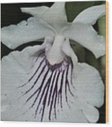 Orchid Cochleanthes Aromatica  Menehune Wood Print