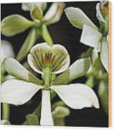 Orchid Encyclia Fragrans Wood Print