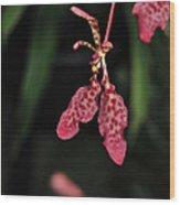 Orchid Red Renanthera Unnamed Wood Print