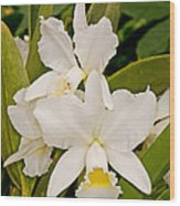 Orchid Sophronitis Wood Print