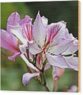 Orchid Tree Wood Print