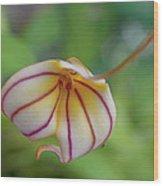 Orchids - Masdevallia Hybrid Wood Print