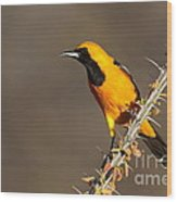 Oriole On Ocotillo Wood Print