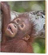 Orphan Baby Orangutan Wood Print