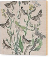 Orthosidae - Hadenidae Wood Print