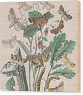 Orthosidae Wood Print