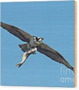 Osprey Bringing Big Fish Wood Print
