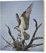 Osprey Building A New Nest Wood Print