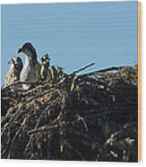 Osprey Chicks In Nest Wood Print