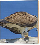 Osprey Eating Lunch Wood Print