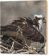 Osprey Family Huddle Wood Print by John Daly