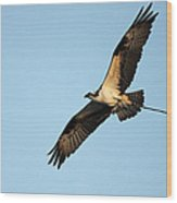 Osprey Flying With Nesting Material Wood Print