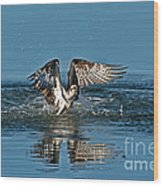 Osprey Getting Out Of The Water Wood Print