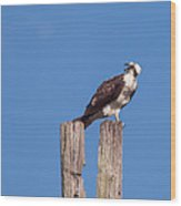 Osprey Giving Warning Wood Print