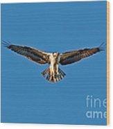 Osprey Hovering Wood Print