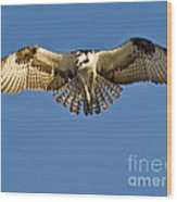 Osprey Hovering Wood Print