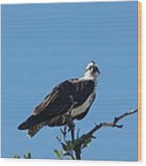 Osprey In A Tree Wood Print
