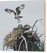 Osprey In Flight Over Nest Wood Print