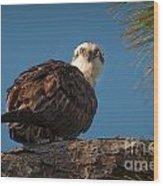 Osprey In Pine 3 Wood Print