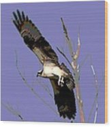 Osprey Lift Off Wood Print by Sharon McLain