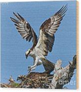 Osprey Mating Wood Print