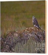 Osprey On A Rock   #7626 Wood Print