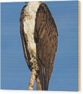 Osprey Perched In Yellowstone National Park Wood Print