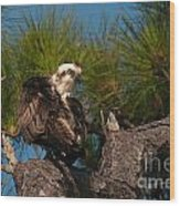 Osprey Preen 1 Wood Print