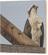 Osprey -seahawk Wood Print