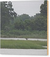 Osprey Wings Landing Wood Print